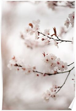 Cherry Plum Blossom by Anne Gilbert
