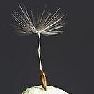 The last dandelion by GrahamCSmith