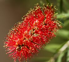 Callistem Bottle Brush, Pago del Humo, Spain 2012 by Timothy Adams