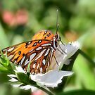 Gulf Fritillary  by Saija  Lehtonen