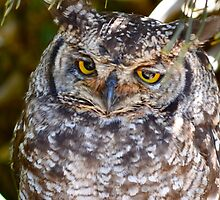 Spotted Eagle Owl by Jessica Henderson