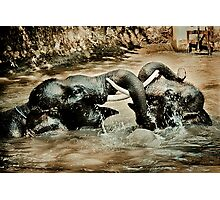 Elephants at Play Photographic Print