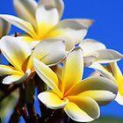 Frangipanni Blooms by alycanon