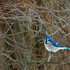 Blue Jay by Richard Lee