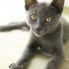 Grey Cat 3 by Diana  Kaiani