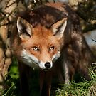 Looking Foxy, British Wildlife Centre by Matthew Walters