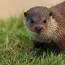 Otter, British Wildlife Centre by Matthew Walters