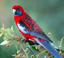 Crimson Rosella by mountainpics