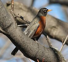 Spring Robin by hummingbirds