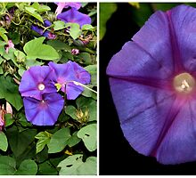 Morning Glory Twice Over by Carole-Anne