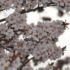 Plum Tree by Butterfly2008