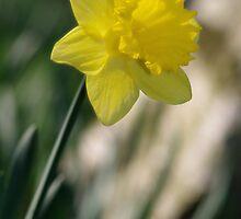 Daffodil 1 by Ra12