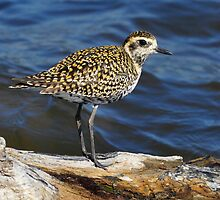 Pacific Golden Plover taken Stockton Channel (2) by Alwyn Simple