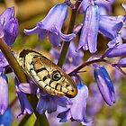 Grass Snake In The Bluebells by John Dickson