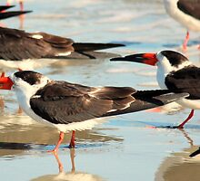 Black Skimmers on the Beach by Rosanne Jordan