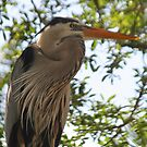 Great Blue Heron No.2 by Sheryl Unwin