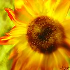 Sunflower-A-Blaze by Janie Lynn Johnson