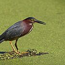 The Wait - Green Heron by Jim Cumming