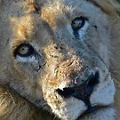 Lion (Male) by DebbyTownsend