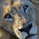 Lion (Male) by Deborah V Townsend