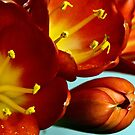 Blooming beauty - Clivia by amontanaview