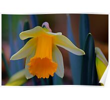 Wild Daffodil Trumpet and Head. Low Coniscliffe, England Poster