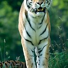 Amur Tiger by Robert Taylor