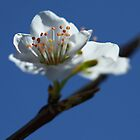 Plum Blossom, Pago del Humo, Spain 2012 by Timothy Adams