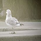 Single Seagull bird by francelal
