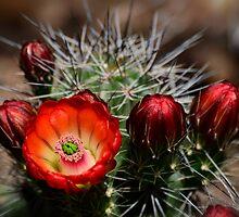 Hedgehog Cactus Flowers  by Saija  Lehtonen