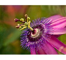 Passion flower in pink and purple Photographic Print