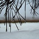 Foggy pine needles by sarahtakespics