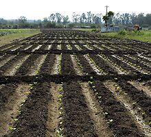 vegitable plants by johnsonmoya