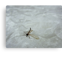 Mosquito on nice Canvas Print