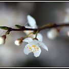 blossom on a branch by photog71