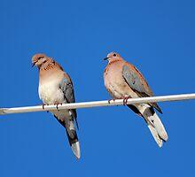 Senegal Doves by alycanon