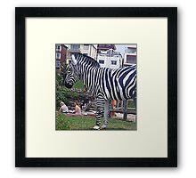 Zebra but not in a Zoo Framed Print