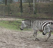 Zebra's  by Angeliique