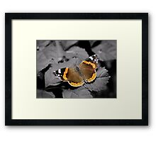 An Old  Red Admiral  Framed Print
