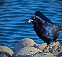 Grackle by George I. Davidson