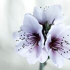 White Almond Flowers by Marc Garrido Clotet