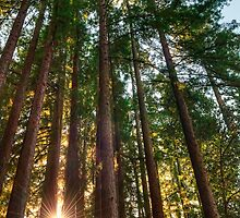 California Redwoods by Eddie Yerkish
