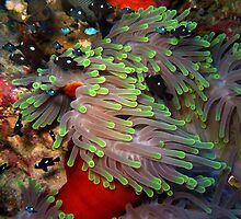 Domino Damselfish in Anemone by SerenaB