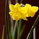 Daffodils by Andrew Walker