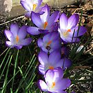 Easter Crocuses by Hans Bax