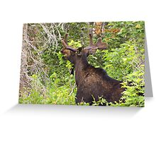 Bull Moose Eating From The Trees  Greeting Card