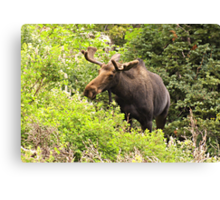 Bull Moose Side Shot  Canvas Print
