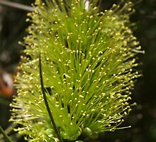 Bottlebrush Green by kalaryder