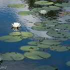Water Lily #2 by Bryan W. Cole