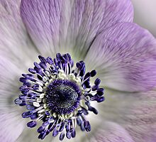 Fresh Anemones... (square) by Bob Daalder